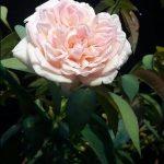 Apa sih Makna Mawar Putih | Kado Ultah Bunga Mawar Putih