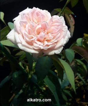 mawarputih,makna mawar putih