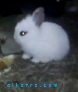cara mengobati luka kelinci