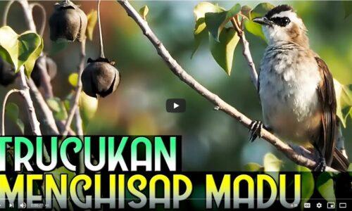 trucukan-hisap-madu-500x300